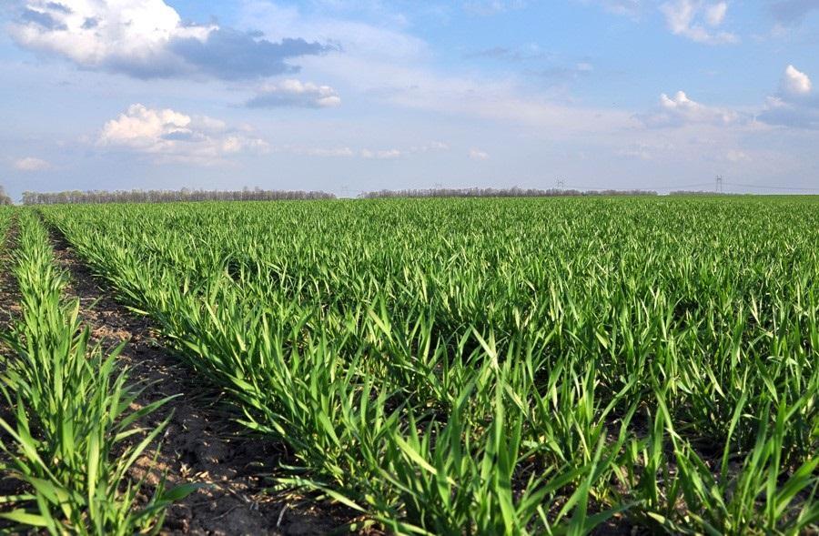 Рекомендованные сроки посева озимой пшеницы по областям Украины