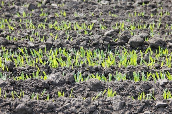 Названо ТОП-10 областей за посівними площами озимої пшениці