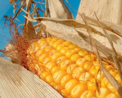Стало відомо, де в Україні сама низька ціна на кукурудзу