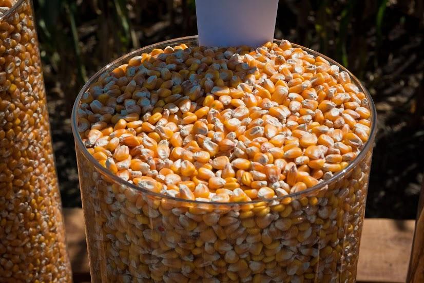 Запаси кукурудзи зменшилися на 27% — Держстат
