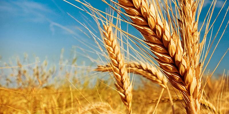 Эксперт назвала причины роста цен на украинскую пшеницу в портах