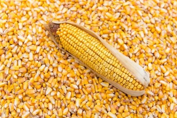 Рынок замер в ожидании решения по ограничению экспорта кукурузы — трейдеры